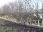 Hedge to be layed