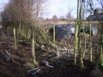 hedge laying 004
