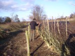 hedge laying 006