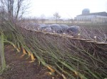 hedge laying 007