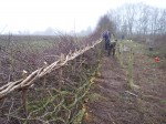 hedge laying 008