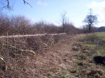 hedge laying 019