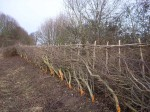 hedge that we layed for British Waterways